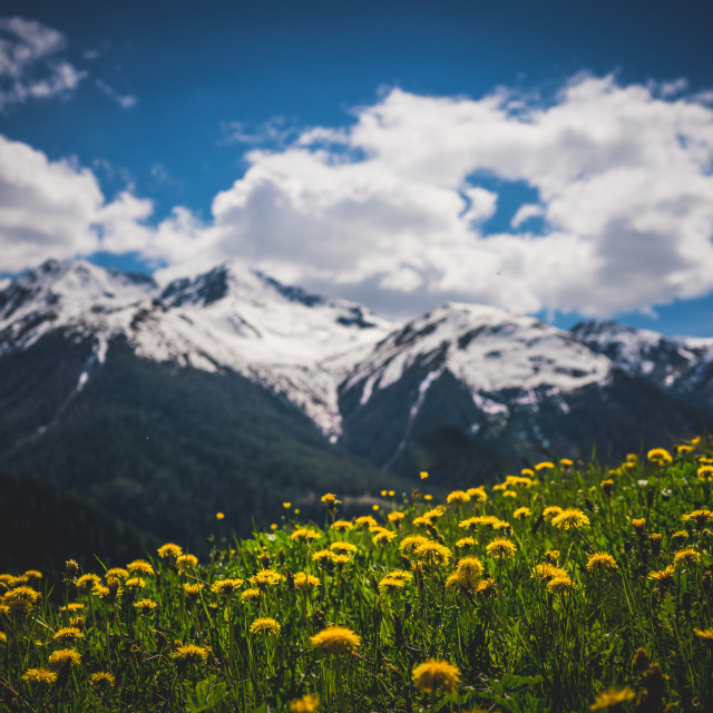 """""""Flowers in the Alps"""" stock image"""