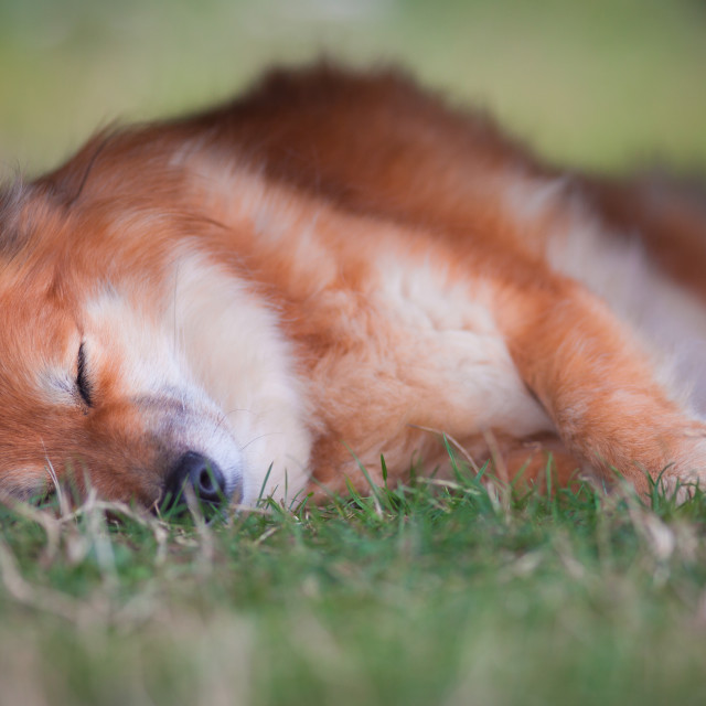 """Sleeping Dog"" stock image"
