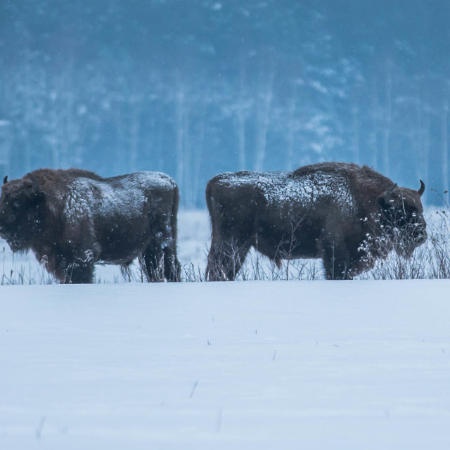 """Bisons in Bialowieza Forest"" stock image"