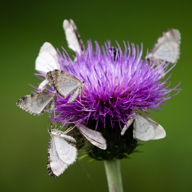 """Butterflies on thistle"" stock image"