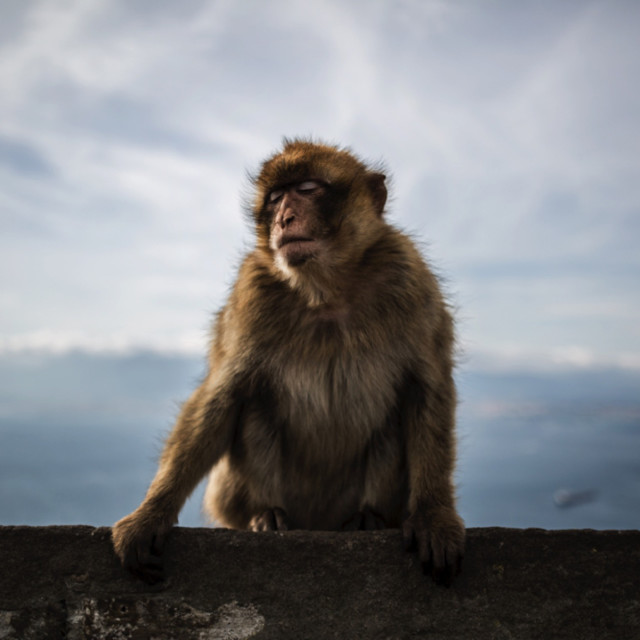 """Barbary Macaque at The Rock"" stock image"
