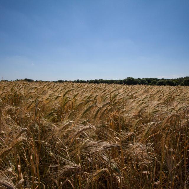 """Wheat field"" stock image"