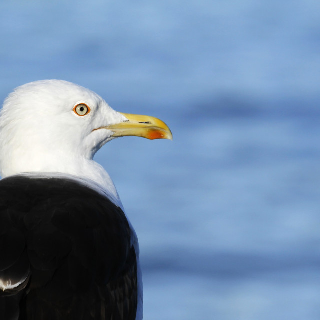 """Lesser Black-backed Gull, Larus fuscus"" stock image"