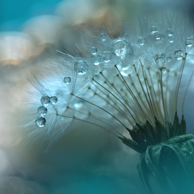"""Tranquil abstract closeup Dandelion Art photography.Pastel Flower.Floral fantasy design."" stock image"