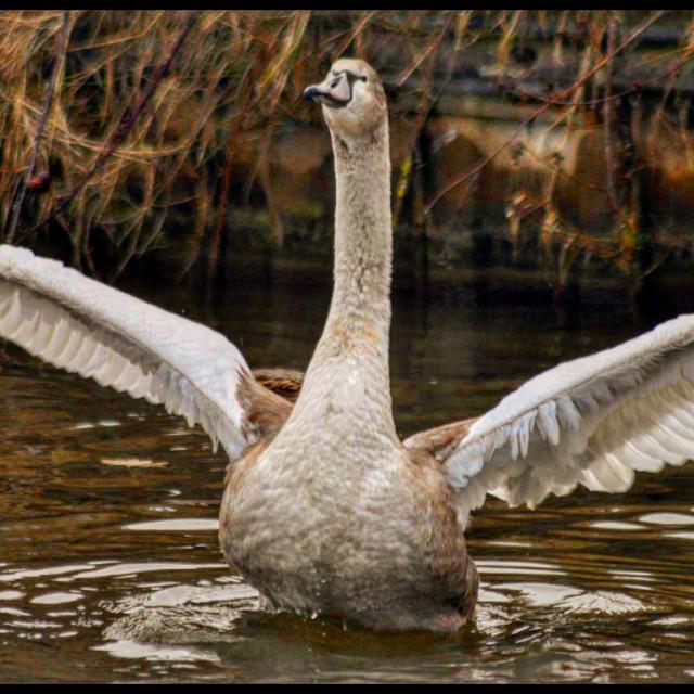 """""""Juvenile swan"""" stock image"""