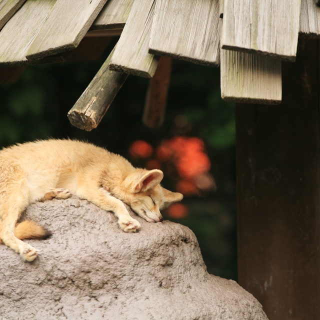 """Fennec fox sleeping on the rock"" stock image"