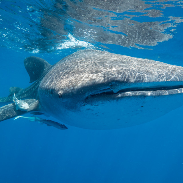 """Curious whale shark"" stock image"