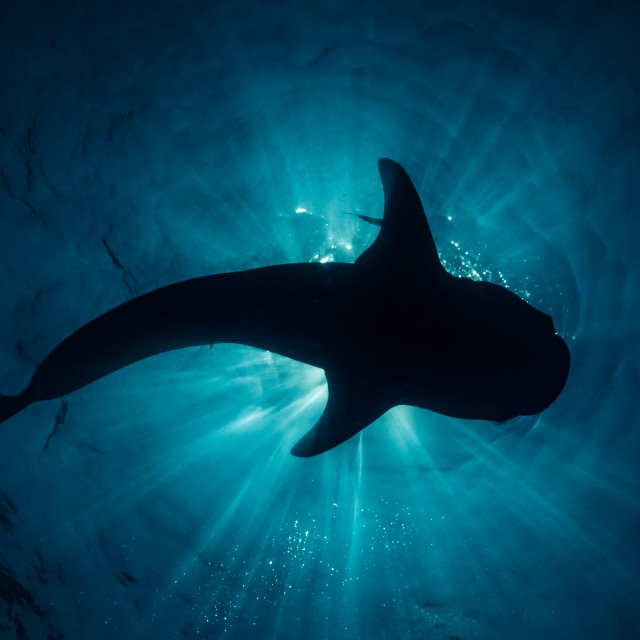 """Whale shark silhouette"" stock image"