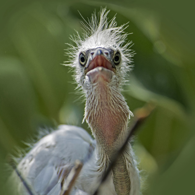 """Hungry Egret Chick"" stock image"