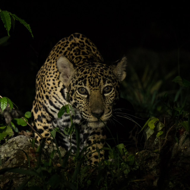 """Jaguar on the prowl"" stock image"