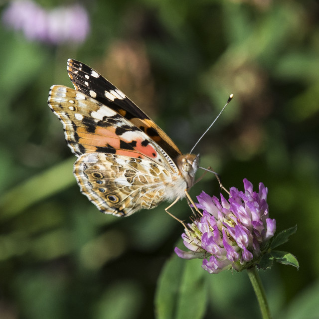 """Painted Lady on Wildflower"" stock image"