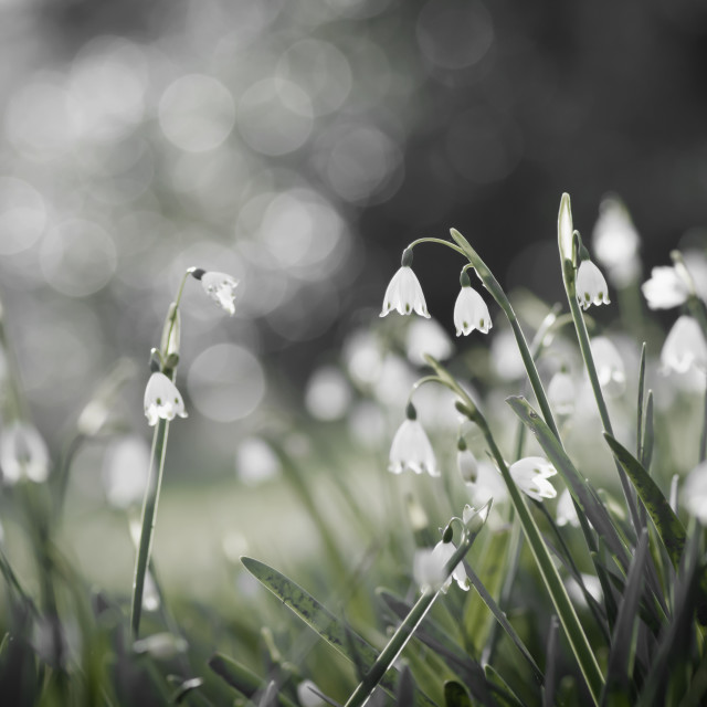 """Snowdrops in Christchurch, NZ"" stock image"