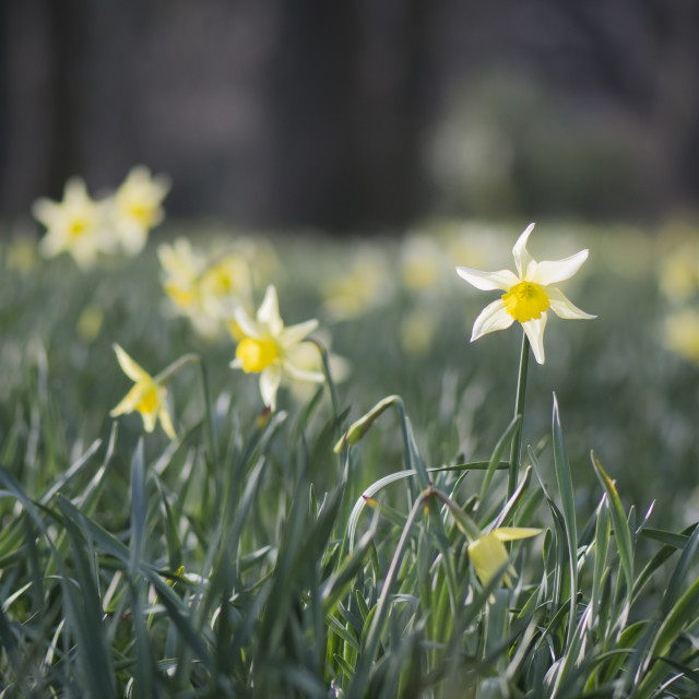 """""""Daffodils in Christchurch 1"""" stock image"""