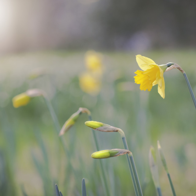 """""""Daffodils in Christchurch 2"""" stock image"""