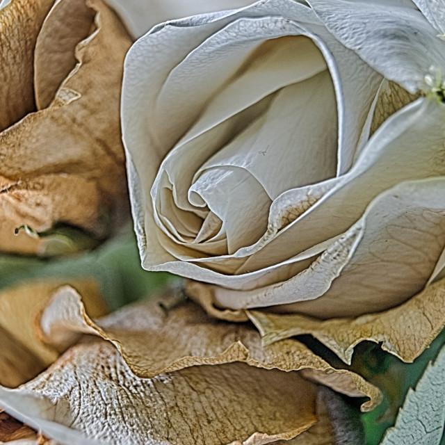 """""""Decaying Rose"""" stock image"""