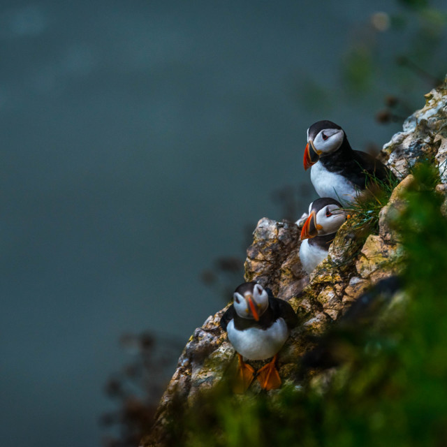 """Three puffins at Bempton Cliffs in Yorkshire , UK."" stock image"