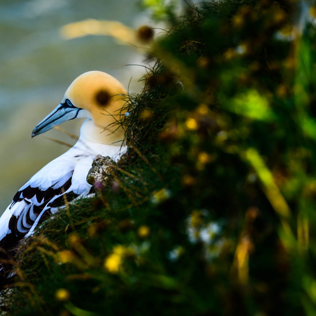 """""""A gannet looking out at the sea"""" stock image"""