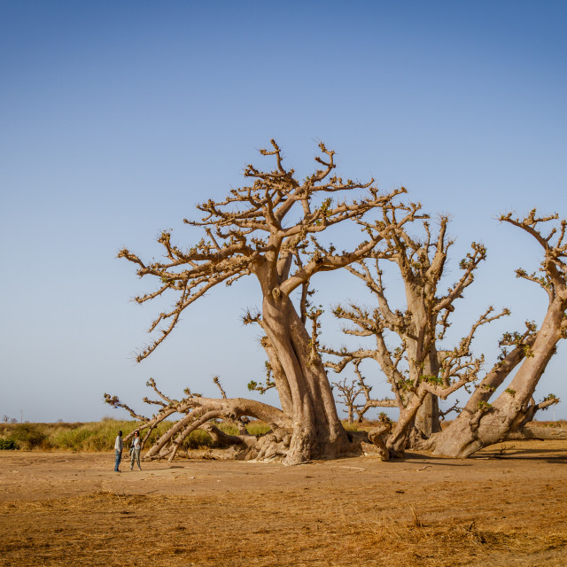 """""""Senegal, Africa - April 26, 2016: Tourist with guide standing talking under a huge baobab tree in the dry savanah of south west Senegal."""" stock image"""
