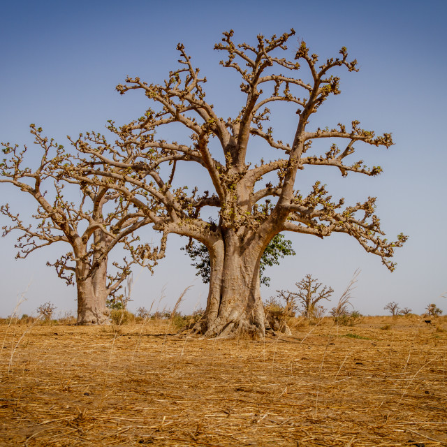 """Massive baobab trees"" stock image"