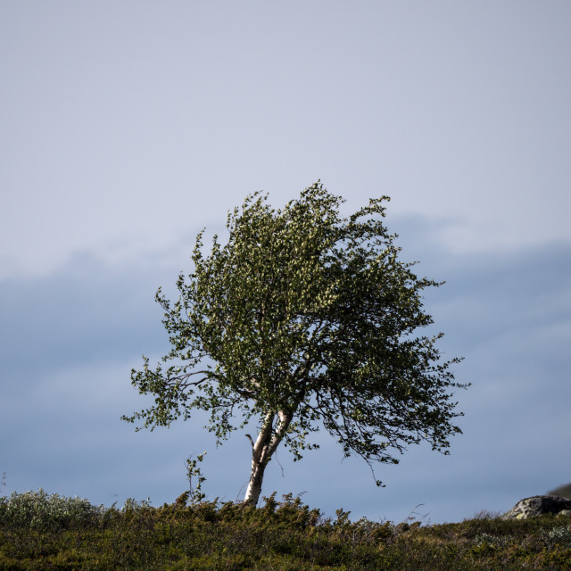 """Lone mountain birch"" stock image"