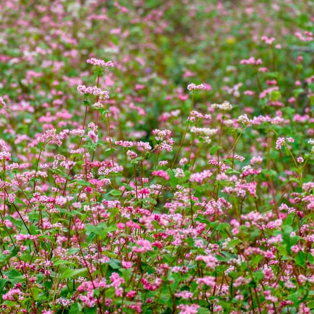 """""""Flower in Rock Plateau of Dong Van"""" stock image"""