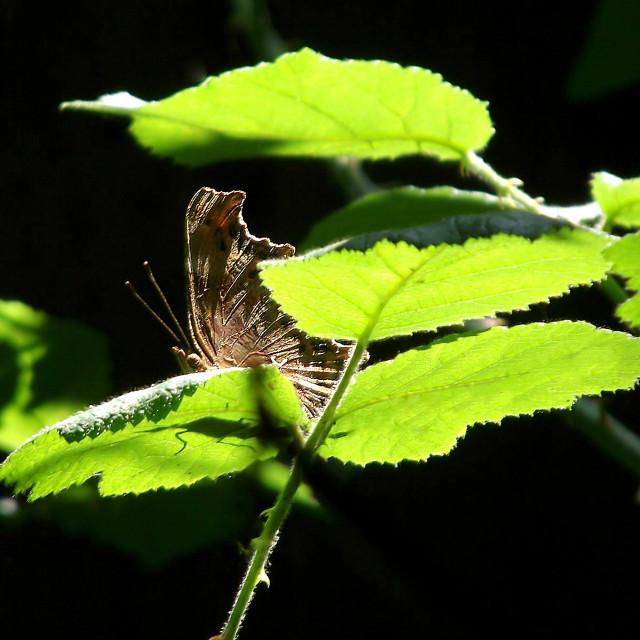 """""""Peek-a-boo Butterfly"""" stock image"""