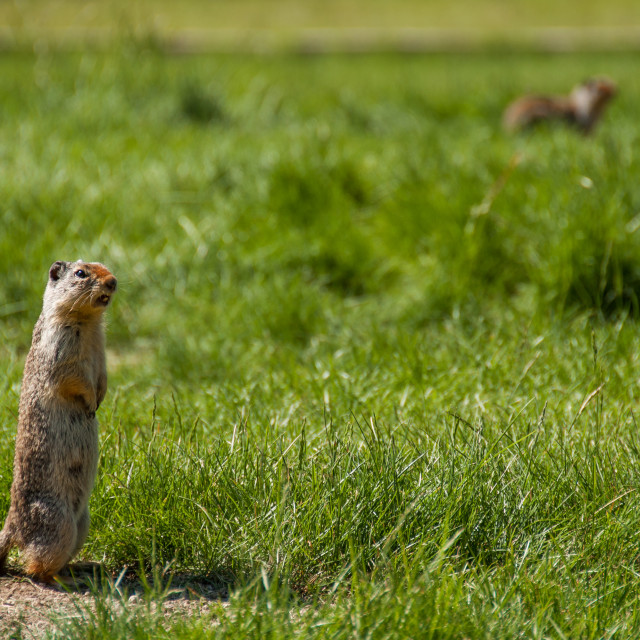 """""""Marmot Calling Out to Other Prairie Dogs"""" stock image"""