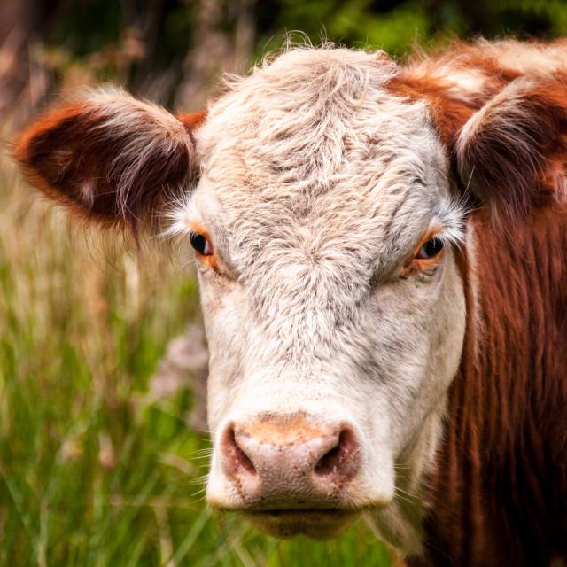 """Brown Cow Head Shot"" stock image"