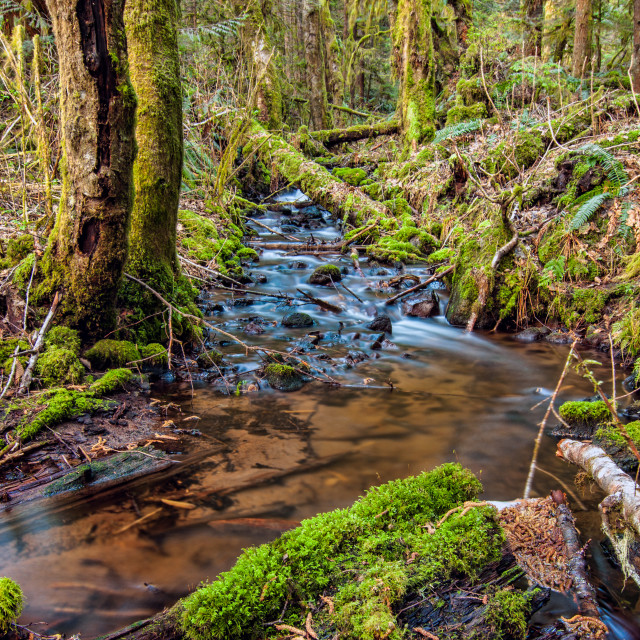 """Mossy Trees of Squamish"" stock image"