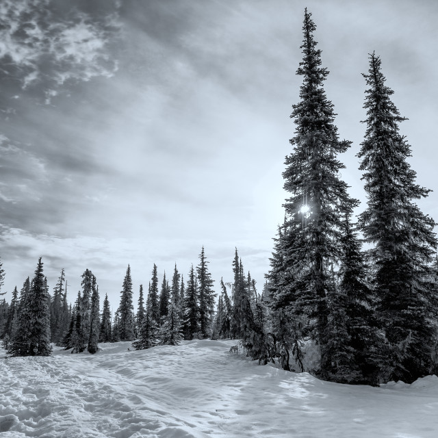 """Black and White of Trees in Winter"" stock image"