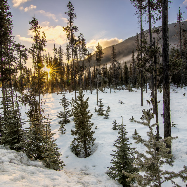 """Sparse Forest in Winter with Sun Star"" stock image"