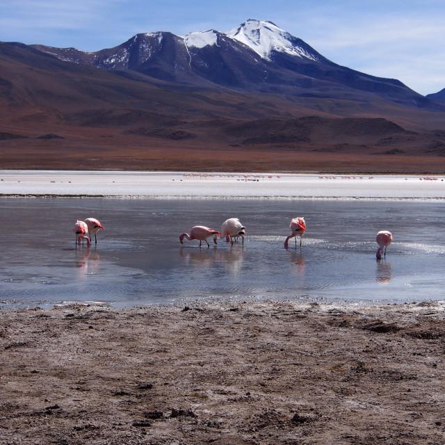 """Laguna and flamingoes"" stock image"