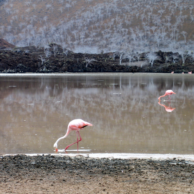 """Galápagos Flamingos"" stock image"