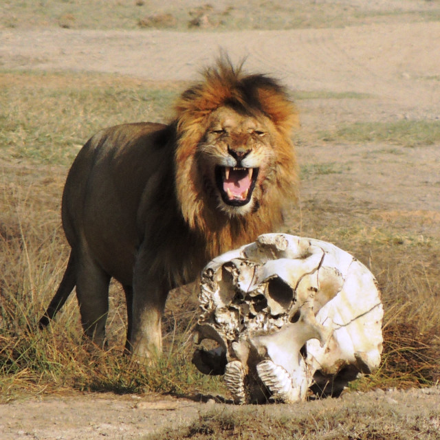 """""""Now who's the King of the Beasts! -Lion with Elephant Skull"""" stock image"""