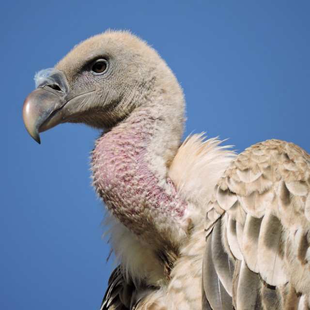 """""""Ruppell's Griffon Vulture Gyps rueppellii Head Close up"""" stock image"""