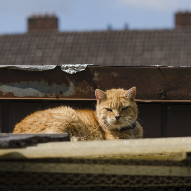 """Lazy Ginger Tomcat , on rooftop"" stock image"