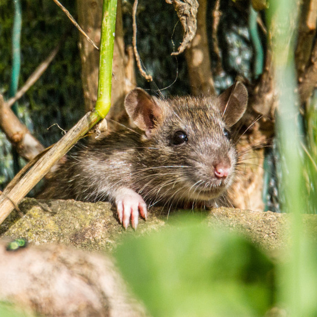 """Ratty"" stock image"
