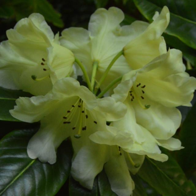 """Lemon Rhododendron"" stock image"