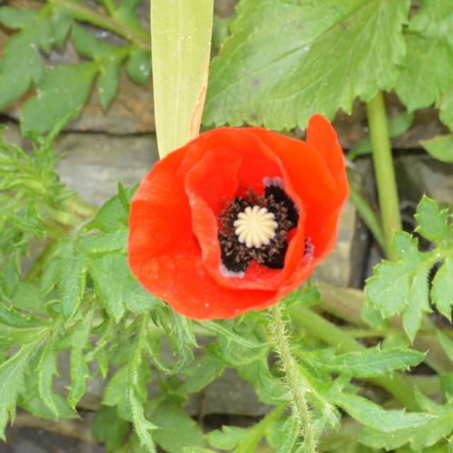 """Red Poppy"" stock image"