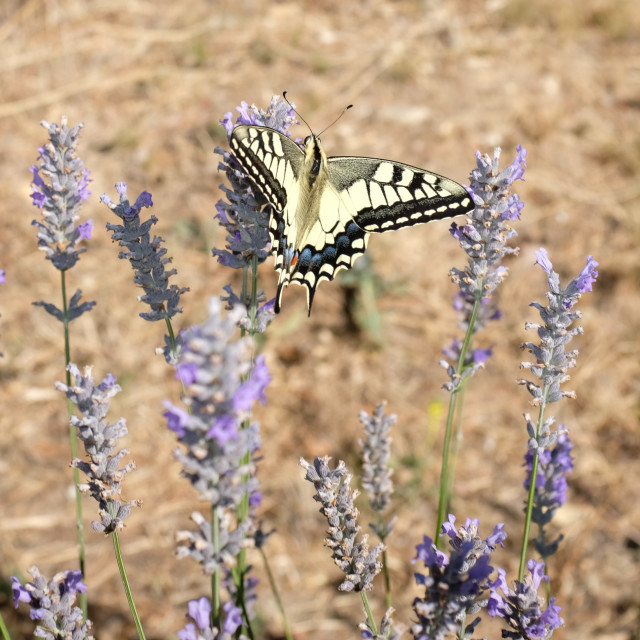 """Swallowtail Butterfly on Lavender bush (2)"" stock image"