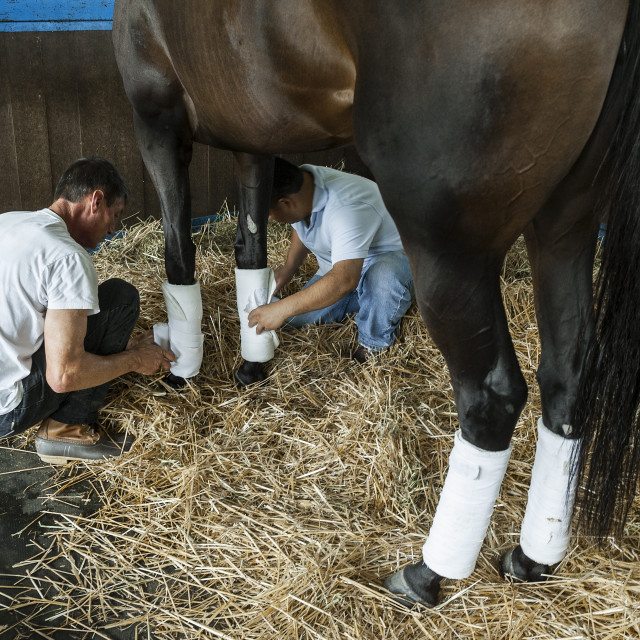 """Bandaging the legs of a thoroughbred race horse."" stock image"