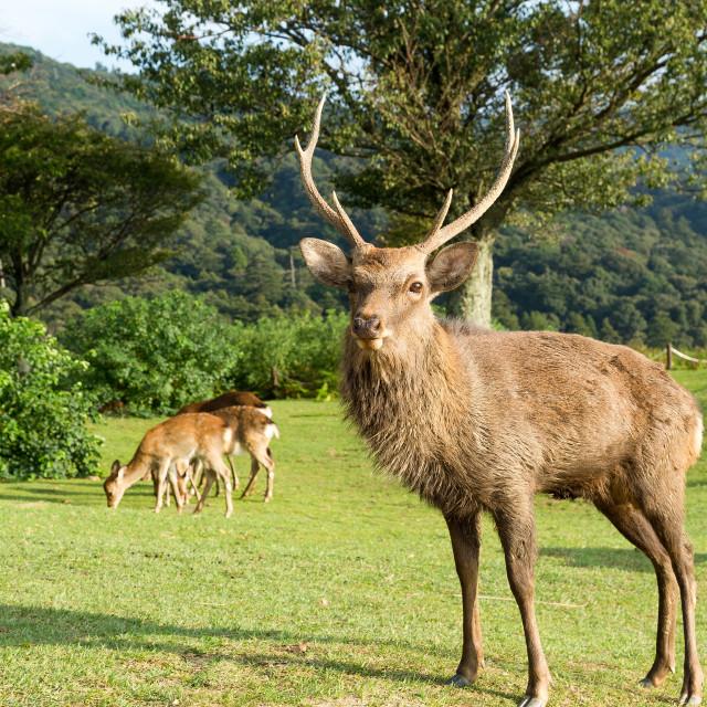"""""""Nara male deer"""" stock image"""
