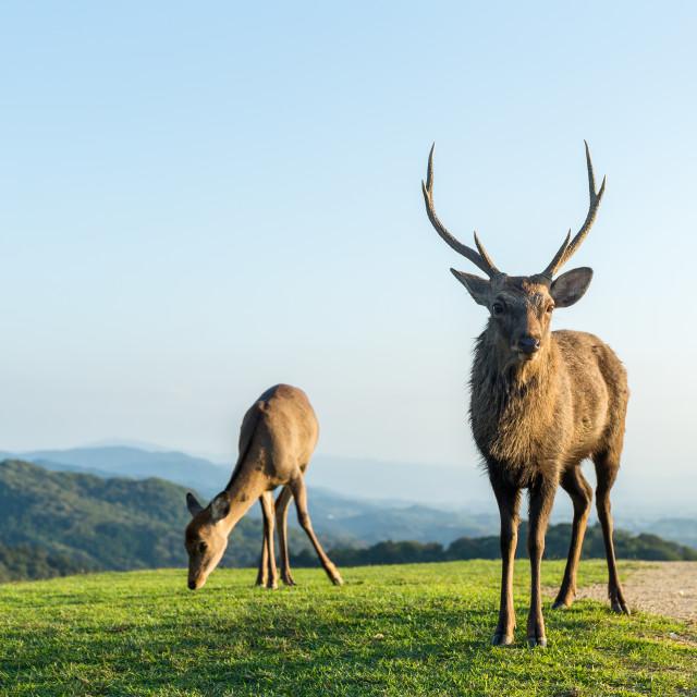 """""""Deer Buck on mountain"""" stock image"""