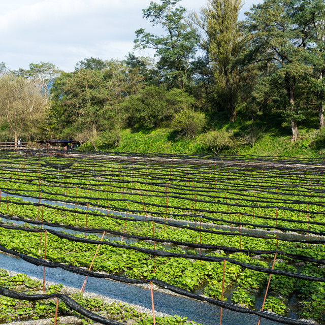 """Wasabi farm in Nagano"" stock image"
