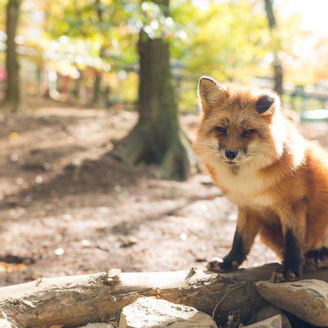"""""""Red fox at outdoor"""" stock image"""