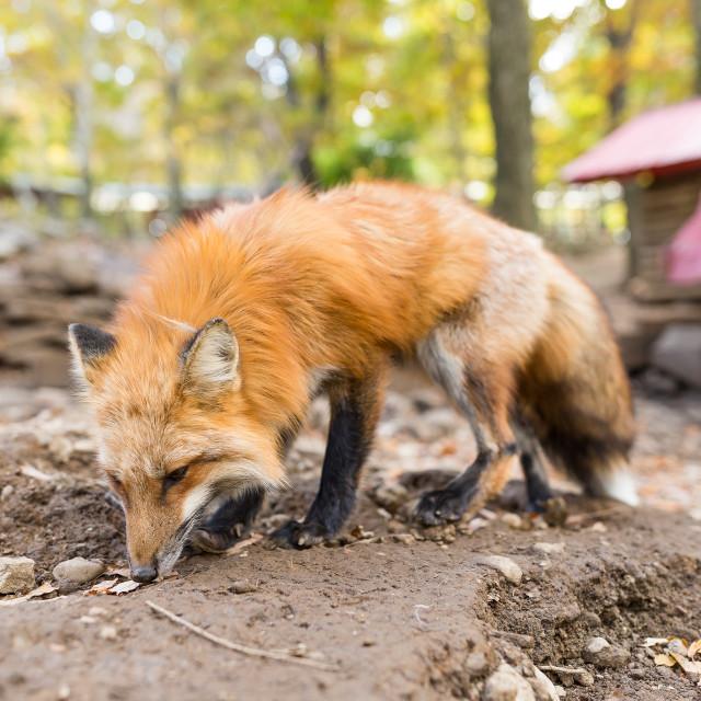"""""""Cute fox"""" stock image"""
