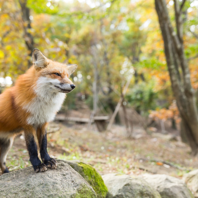 """""""Lovely fox standing on the rock"""" stock image"""