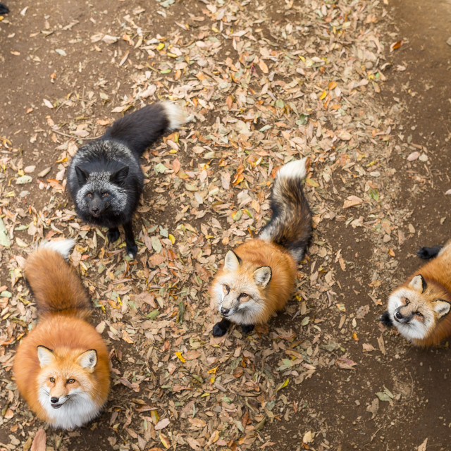 """""""Many fox looking for snack"""" stock image"""