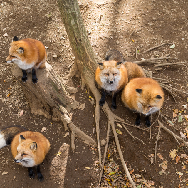 """""""Many fox together"""" stock image"""