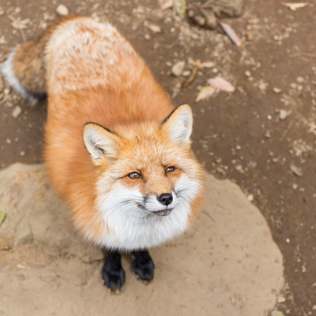 """Fox seeking for food"" stock image"
